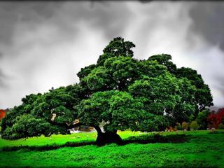 обои Широко раскинувшийся зеленый дуб, под грозовым небом фото