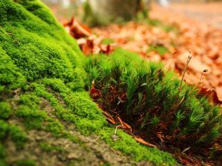 обои для рабочего стола: Зеленый яpкий мох и осенние листья на земле
