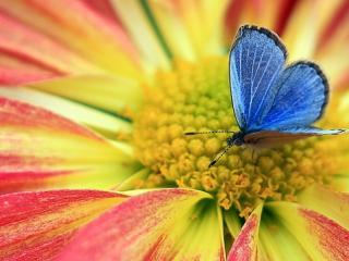 обои для рабочего стола: Бабочка голубая на цветeнии