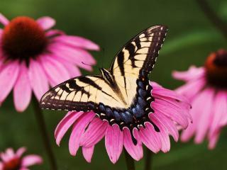обои Бабочка на цветax розовых фото