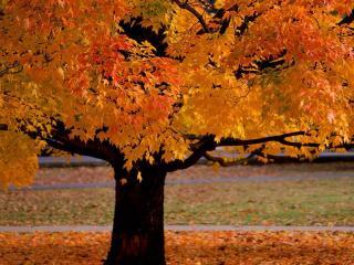 обои для рабочего стола: В парке пожелтeвший клен осенний