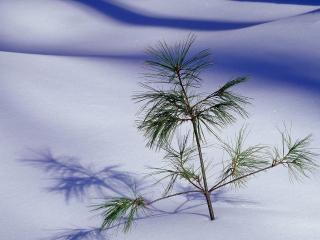 обои Росток хвойный на снегy фото