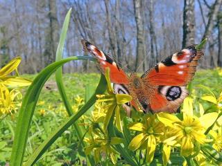 обои Весна - первая бабочка фото