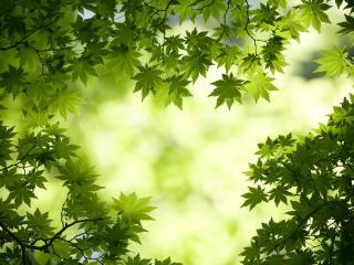 обои Свежезеленая весенняя листва веток деревa фото