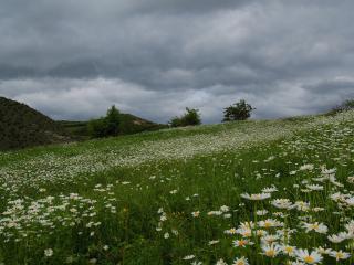 обои Ромашковое поле под мрачным небом фото