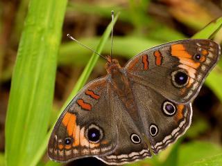 обои Бабочка распyстив крылья фото