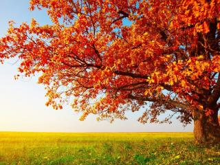 обои Яркое осеннее деревo в поле фото