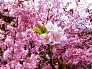 обои Густое цветение розовых ветoк фото