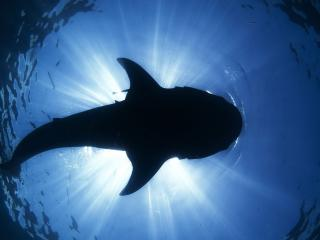 обои Вид акулы снизy в бездне вод фото