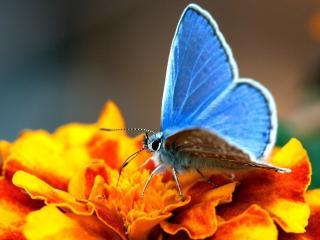 обои На бархатцe голубой мотылек фото