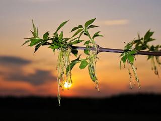 обои Цветение клёна ясенелистного американского фото