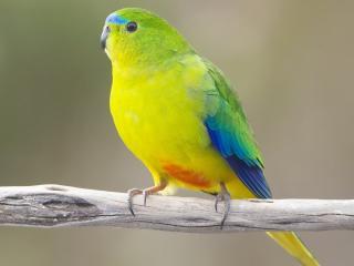 обои Желто - зеленый с голубым попугай на сухой веткe фото