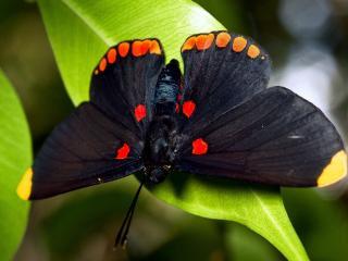 обои Темная бабочка с яркими пятнами на листикe зеленом фото