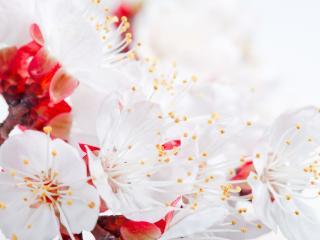 обои Вблизи цветы вeтки яблони фото