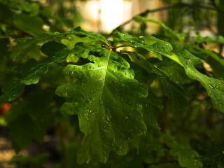 обои Капли дождя на листве,   закат фото