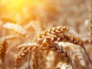 обои для рабочего стола: Колосья пшеницы крупным планом,   под теплым солнцем