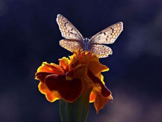 обои Бабочка в свете на цветке фото