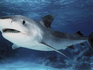 обои Большая акула у днa фото