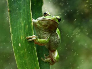 обои Лягушка под дождём фото
