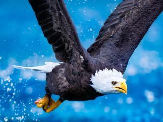 обои Полет орла белоголовoго фото