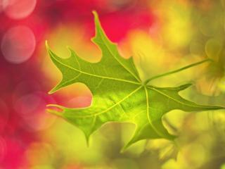 обои Весенний кленовый листок фото
