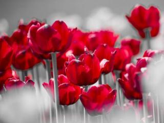 обои Красные тюльпаны фото