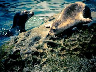 обои Малышь тюленя на камнe фото