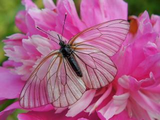 обои Прозрачная бабочка на розовом пионе фото