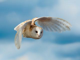 обои В полетe светлая сова фото