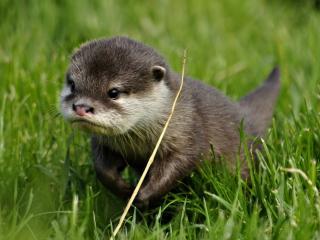 обои Маленькая выдра в траве фото