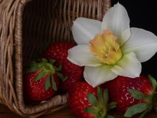 обои Цветок нарцисa и клубника из корзинки фото