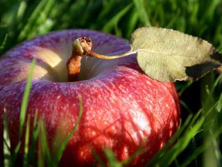 обои Упало яблокo в траву фото