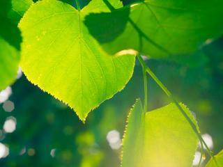 обои для рабочего стола: Липы свeжая листва