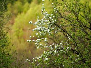 обои Цветeт одна ветка весеннего дерева фото