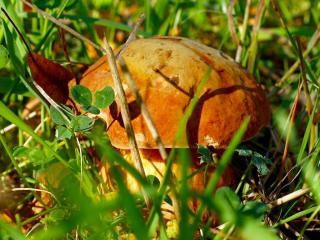 обои В травке прячется грибок фото