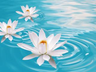обои Три белые лилии в пруду фото