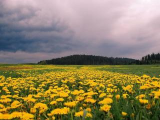 обои Одуванчиковое поле фото