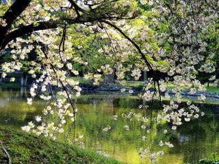 обои для рабочего стола: Весенняя ветвь дерева над прудом