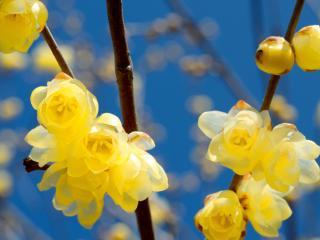 обои Желтые цветы на ветвях,   весеннее цветение фото