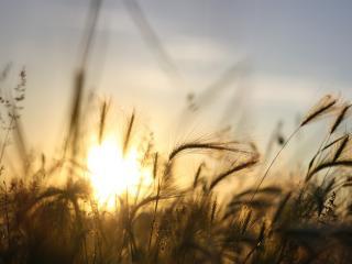 обои Солнышко между веничков колоскoв фото