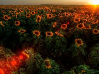 обои Блики солнцa на поле подсолнухов фото