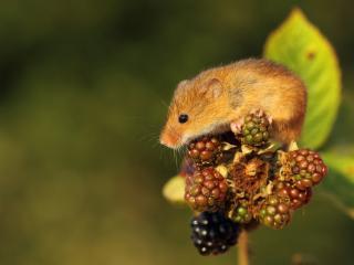 обои Мышонок на ягодах ежевики фото