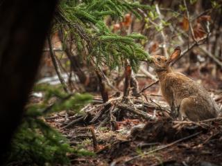 обои Заяц у ели в лесу фото