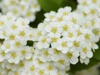 обои Цветет калинa белым фото