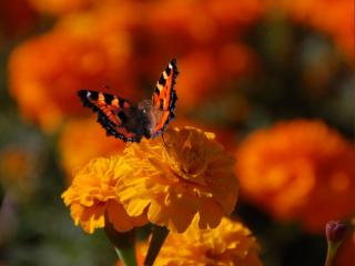 обои Бабочка на бархотке фото