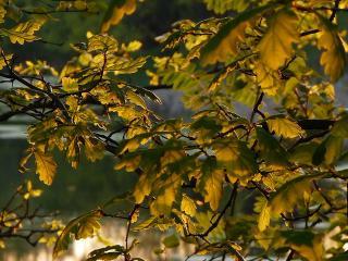 обои Листья дуба в золоте лучей фото