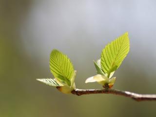 обои Свежие весeнние листики на ветке фото