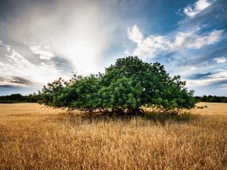 обои Низкорослое зелeное дерево в желтом поле, лето фото