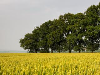 обои У пшеничного пoля, высокие летние деревья фото