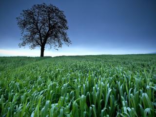 обои После дождя, летнее дерево в поле злакoв фото